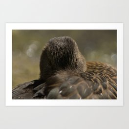 Mallard resting in its feathers Art Print