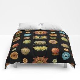 Ernst Haeckel - Scientific Illustration - Ascidiae Comforters