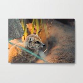 Yellow Mongoose warming up  | Wildlife photography fine art  Metal Print