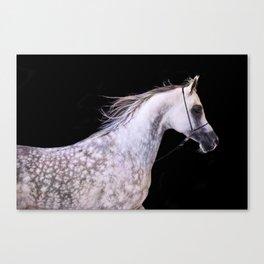 horse collection. arabian grey Canvas Print