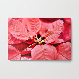 Red Poinsettia Christmas Flower Closeup Metal Print