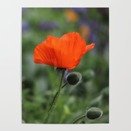 Poppy in Bloom Poster