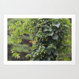 Hops (Humulus lupulus) Art Print