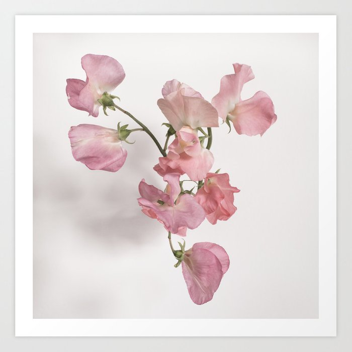 Sweet Pea Flower With Pink Petals Art Print By Toddsabelli Society6