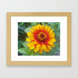 Zinnia on fire Framed Art Print