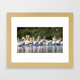 American White Pelicans Grooming at Shadow Mountain Lake in Grand Lake, Colorado Framed Art Print