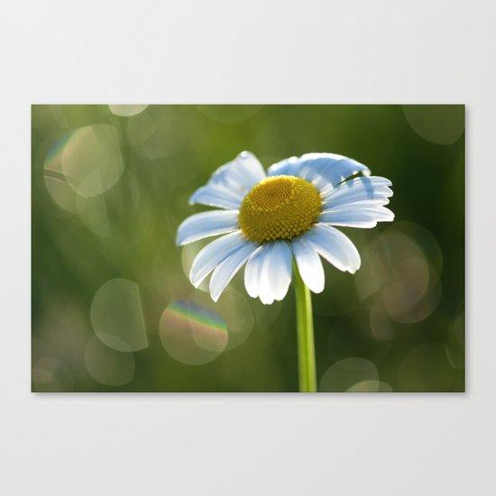Daisy after rain at backlight Canvas Print