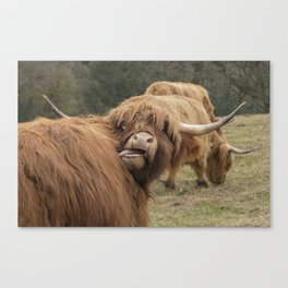 Funny Scottish Highland cow Canvas Print
