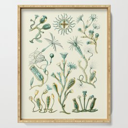 Ernst Haeckel - Scientific Illustration - Campanariae Serving Tray