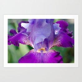 Glowing Japanese Iris Floral / Botanical Nature Photo Close-up Art Print