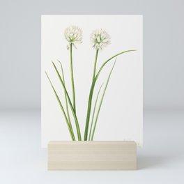 Northern Onion (Allium sibiricum) (1920) by Mary Vaux Walcott Mini Art Print