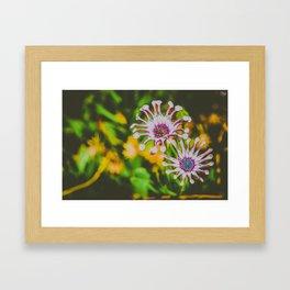 african daisybush flower Framed Art Print
