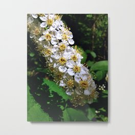 Chokecherry Flowers 1 Metal Print