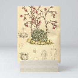 Flower 8496 saxifraga stribrnyi Mini Art Print