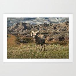 Bighorn Ram Sheep on a grassy ridge edge in the Badlands Art Print
