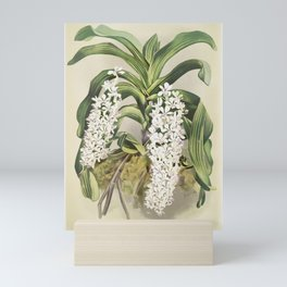 Saccolabium giganteum from Reichenbachia Orchids (1888-1894) illustrated by Frederick Sander (1847-1 Mini Art Print