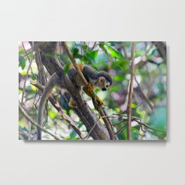 Squirrel monkey in a branch Metal Print