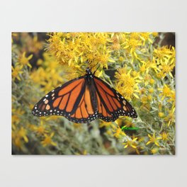 Monarch on Rubber Rabbitbrush Canvas Print