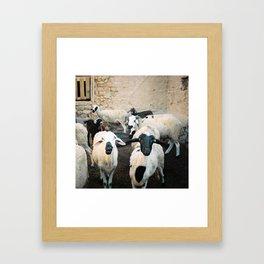 Sheep in Morrocan desert (color) Framed Art Print