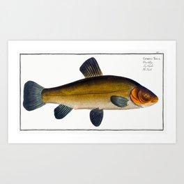 Golden Tench (Cyprinus Tinca auratus) from Ichtylogie ou Histoire naturelle generale et particuliere Art Print