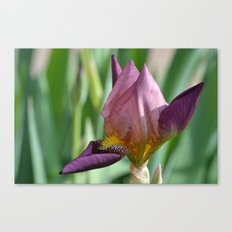 Iris Croatica Canvas Print