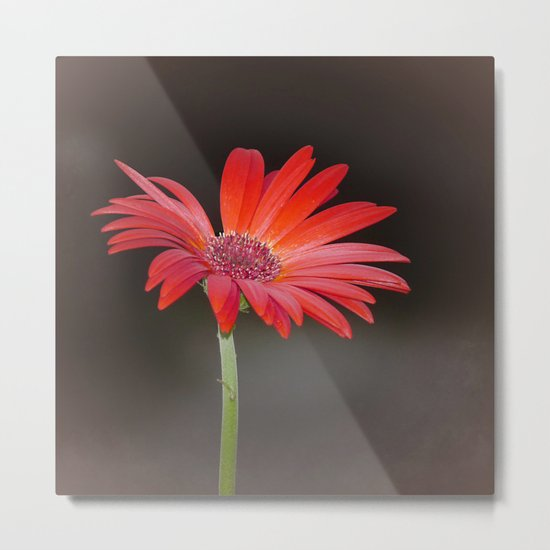 Red Gerbera Daisy on Brown  Metal Print