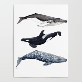 Orca, humpback and grey whales Poster