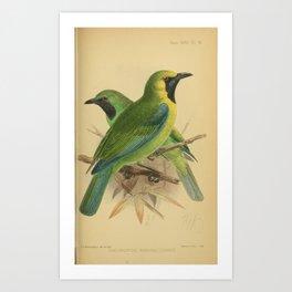 Bornean Leafbird chloropsis kinabaluensis14 Art Print