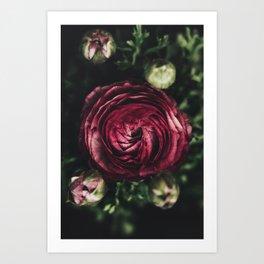 Dark Red Ranunculus Art Print
