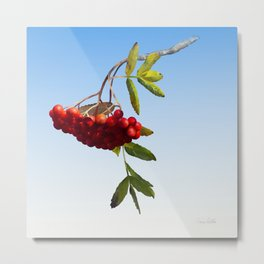 Rowan Tree Branch Metal Print