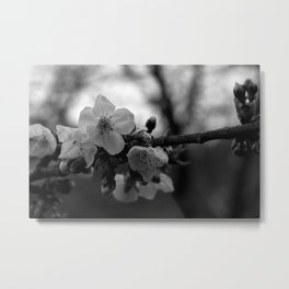 Monochromatic cherry blossoms on branch Metal Print