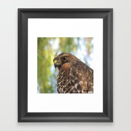 Young Red-Shouldered Hawk in a Desert Willow Framed Art Print