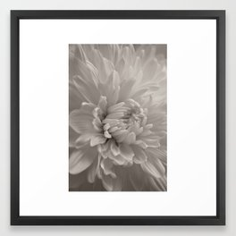 Monochrome chrysanthemum close-up Framed Art Print