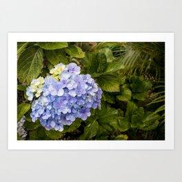Lavender Hydrangeas in Nicaragua Art Print