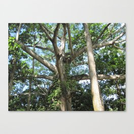 Honduras Tree Canvas Print