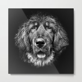 close-up of dog terranova, isolated in black Metal Print