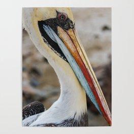 Retrato de Pelicano Poster