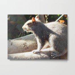Sunning squirrel Metal Print