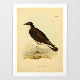 The Zoology of the Voyage of HMS Beagle 1840 - Birds 1: M. albogularis / White-throated caracara Art Print