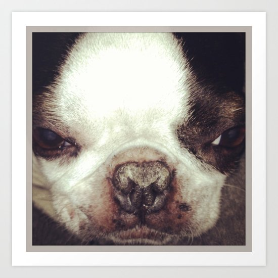Boston Terrier Face Art Print