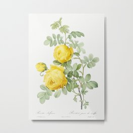 Rosa hemisphaerica, also known as Yellow Rose of Sulfur (Rosa sulfurea) from Les Roses (1817-1824) by Metal Print