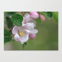 Tender Apple Tree Blossoms In Spring Canvas Print