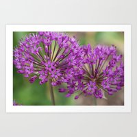 Purple Allium Twins Art Print