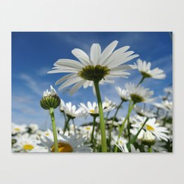 Daisy Flowers, Petals, Blossoms - White Green Canvas Print