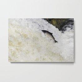 Large salmon leaping Metal Print