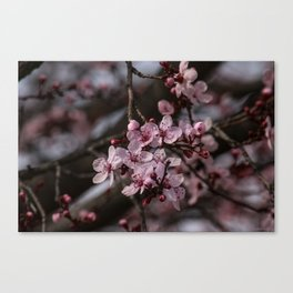 Spring Cherry Tree Blossoms - II Canvas Print