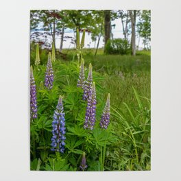 Island Lupines Poster