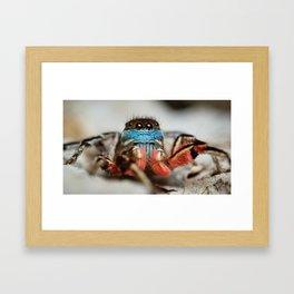 Habronattus americanus Male Framed Art Print
