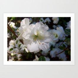 Joyful Camellias Art Print