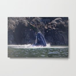 Humpback whale eating Metal Print